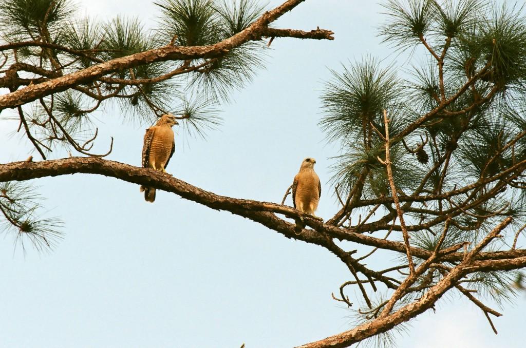 Red Shouldered Hawks