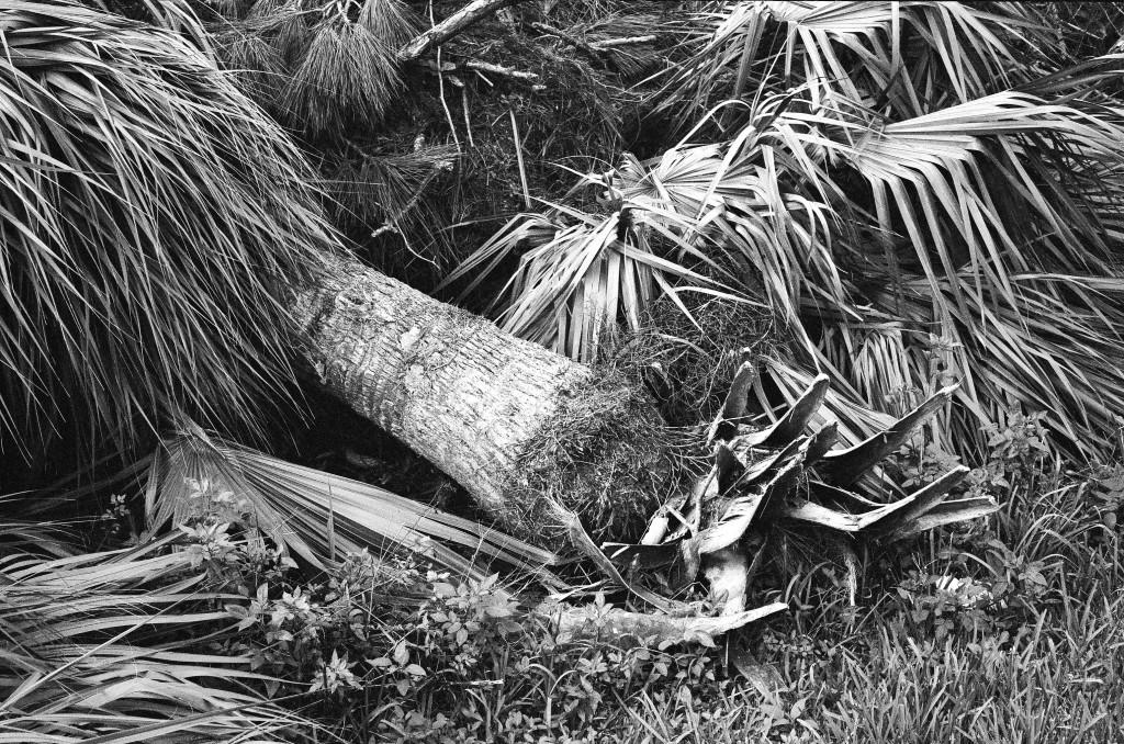 Fallen Palm Trees